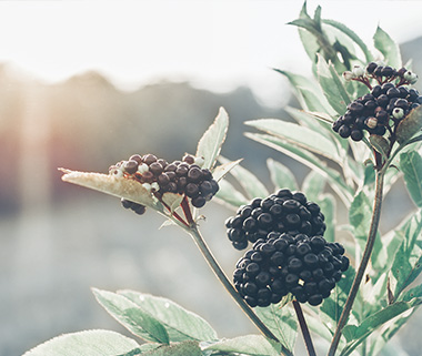 Why Choose Elderberry